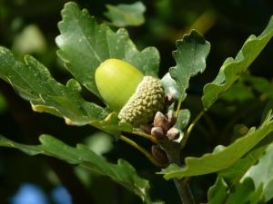 eichenblätter und eicheln von eichen
